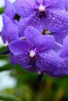Dendrophylax funalis. Dainty purple flowers.