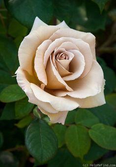 'Butterscotch (Large Flowered Climber, Warriner 1986)' rose ... Rose Database.