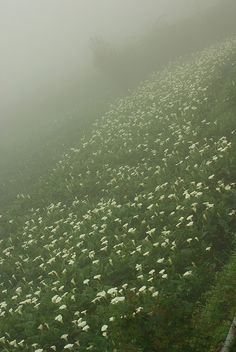 Blue days [mist over hilly green field of white flowers]