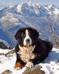 #Bernese #Mountain #Dog