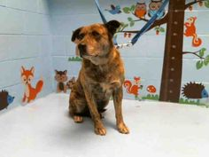 RESCUED ❤️LILO - ID#A366431 My name is LILO and I am a spayed female, brown brindle Pit Bull Terrier mix. The shelter thinks I am about 6 years old. I have been at the shelter since Dec 31, 2015 and I am available for adoption now! If you think I am your missing pet, please call or visit right away. Otherwise, please visit me in person as shelter staff are busy caring for my needs.