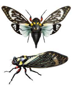 Tosena splendida (cicada)