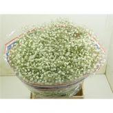 Gypsophila Xlence on Dutch Flower Auction Direct Gypsophila, Cut Flowers, Wedding Flowers, Dutch, Auction, Dutch People, Babies Breath