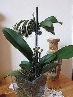 lepkeorchidea -tanácsok, ültetés, gondozás Orchid Show, Orchid Care, Growing Orchids, Orchid Arrangements, Orchids Garden, Organic Gardening Tips, Garden Care, Exotic Flowers, Houseplants