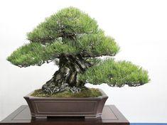 20,000 Visitors & Hundreds of Breathtaking Bonsai | Bonsai Bark