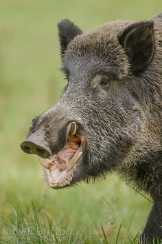 Male boar showing impressive tusks Pig Hunting Dogs, Wild Boar Hunting, Hog Hunting, Animals And Pets, Funny Animals, Hog Pig, Interesting Animals, Wild Nature, Wyoming