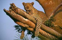 Cheetah in a tree~