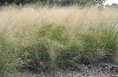 Image result for wind dancer love grass