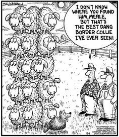 love our boadrer collie #bordercollie