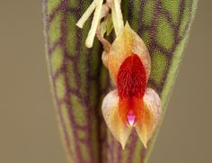 Miniature-Orchid: Lepanthes reticulata - Flickr - Photo Sharing!