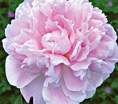 Sarah Bernhardt Peonies- shipped for fall planting.