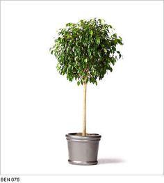 Ficus - Google Search