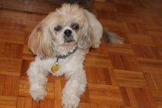 Paco is brave little blind Shih Tzu Shih Tzu, Rescue Dogs, Blind, Brave, Animals, Animales, Rolling Shutter, Animaux, Blinds