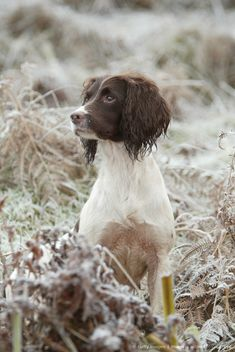 English Springer Spaniel (Canis lupus familiaris) So looks like my Tess :-) Working Springer Spaniel, Working Spaniel, Welsh Springer Spaniel, English Springer Spaniel, Spaniel Breeds, Spaniel Puppies, Dogs And Puppies, Barbour, Sprocker Spaniel