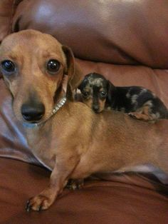 """""""I got your back."""" - Dachshund and - """"I got your back."""" – Dachshund and - Dachshund Funny, Dachshund Puppies, Dachshund Love, Cute Puppies, Cute Dogs, Dogs And Puppies, Daschund, Dapple Dachshund, Pet Puppy"""