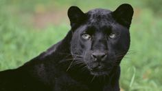 What is the scientific name for a black panther?   Reference.com