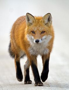 Red Fox Walking by larry.hitchens