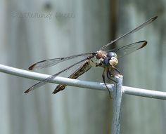 This dragonfly flew into our yard a few weeks ago & posed for a pic!