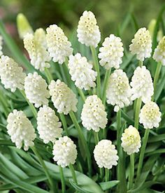 White Magic Muscari - 10 bulbs