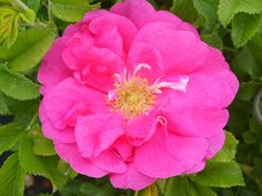 David Thompson  --  An Explorer rose: roses developed to withstand Canadian winters, but which will take heat & humidity. Grows 3-5ft. tall by 3-5ft. wide. Flowers soft magenta, open flat, 25 petals, 2.5-3 in. Strong old rose fragrance. Despite having rugosa lineage, it's not too thorny. Rugosa roses dislike being sprayed or fertilized. They like afternoon shade in our hot MD summers. Svejda, 1970.