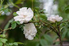 Types of Roses Rose Hedge, Rose Garden Design, Types Of Roses, Hedges, Amazing Gardens, White Roses, Garden Plants, Color Mixing, Flower Arrangements