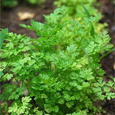Les feuilles fraîches parfument potages, crudités, poissons, volailles, et sont très utilisées dans la cuisine orientale et asiatique.