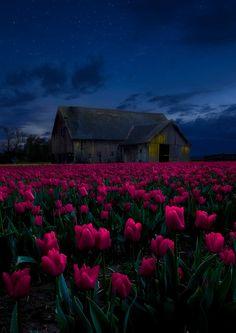 Tulips of the night