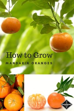 How to Grow Mandarin Oranges Learn how to grow your own mandarin trees. Mandarins have many varieties available that produce different sizes of fruit, each at a different level of tartness and sweetness. Discover more about mandarin oranges. Fruit Tree Garden, Garden Trees, Garden Shrubs, Growing Fruit Trees, Growing Plants, Dwarf Fruit Trees, Permaculture, Container Gardening, Gardening Tips