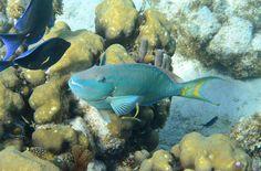 Stoplight Parrot Fish | Flickr - Photo Sharing!