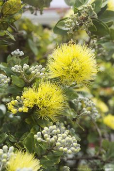 Find the perfect ohia lehua blossom stock photo. Exotic Plants, Exotic Flowers, Tropical Plants, Tropical Flowers, Pretty Flowers, Colorful Flowers, Hawaiin Flowers, Hawaiian Plants, Hawaii Pictures