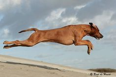 Rhodesian Ridgeback in action. you know, they were bred to hunt lions... I think that its awesome.