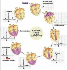 events of the cardiac cycle and their corresponding graph on the EKG. needed this the other day for my patientElectrical events of the cardiac cycle and their corresponding graph on the EKG. needed this the other day for my patient Nursing School Tips, Nursing Tips, Nursing Notes, Nursing Programs, Nclex, Medical Students, Nursing Students, Cardiac Cycle, Cardiac Nursing