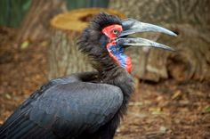 Southern_Ground-hornbill_(Bucorvus_leadbeateri)_-side_beak_open.jpg (3008×1992)