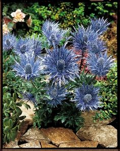 How to Grow Sea Holly | Best to all in the Planting Season,