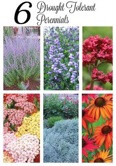 Six drought tolerant perennials to use in a hot, sunny location - coneflowers, yarrow, artemesia and Russian sage are some of my favourites.