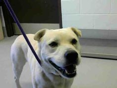 Labrador Retriever dog for Adoption in Corpus Christi, TX. ADN-771448 on PuppyFinder.com Gender: Male. Age: Adult