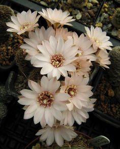 Rebutia pygmaea Eos RH328