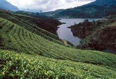 El cultivo de té en Sri Lanka