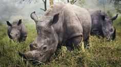 Rinoceronte blanco, Stefane Berube: la noche anterior había estado tratando de tomar una foto a menos de 50 metros de uno de estos ejemplares. No pudo. A la madrugada, ellos fueron a visitarlo y posaron para esta toma