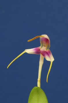 Miniature-orchid: Masdevallia estradae - Flickr - Photo Sharing!