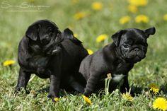 Pug puppies.