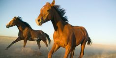 Don't let them cull 90% of the brumbies living in the Snowy Mountain region. These horses have been here for 150 years! (5753 signatures on petition)