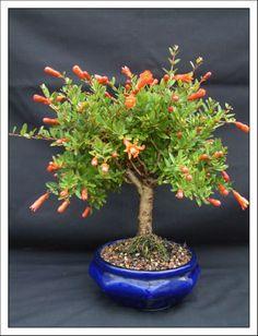 Bonsai Garden - Home Of Fuchsia Bonsai By Kath Van Hanegem