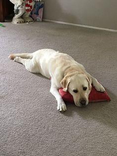 Bello, the Labrador #labradorretriever
