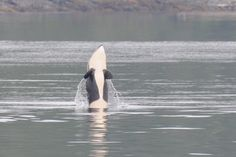 Experience Stubbs Island Whale Watching Adventure! | British Columbia Whale Watching Tours Adventures, Stubbs Island Whale Watching, Vancouver Island, BC, Canada