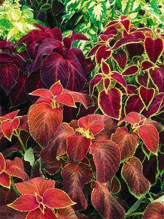 Plant of the Day: Coleus