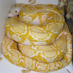Poor guy looks scared. poor guy also needs a bigger cage :( Animals And Pets, Funny Animals, Cute Animals, Beautiful Snakes, Beautiful Babies, Reticulated Python, Reptile Terrarium, Pet Snake, Ball Python