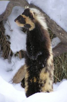 marbled polecat day by mama-Lua on DeviantArt Beautiful Creatures, Animals Beautiful, Cute Ferrets, Carnivore, Rare Animals, Small Animals, Paws And Claws, All Gods Creatures, Wild Ones