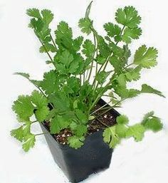 Cilantro: how to grow tips   From my experience, dig a hole, put in the ground water, and it grows!