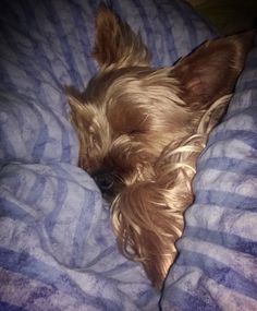 And just look how menacing they are when they're sleeping.   21 Reasons Why You Should Never Own A Yorkshire Terrier